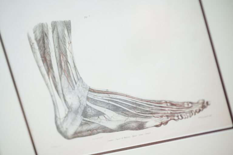 anatomical drawing of foot and ankle